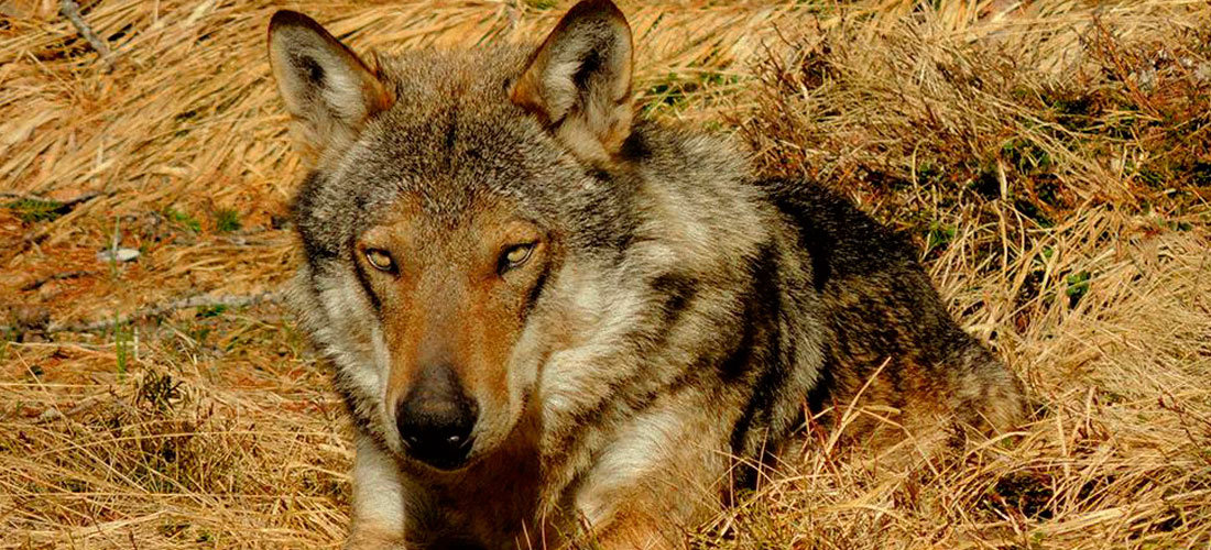 Domenica 26 febbraio 2017 – In Lessinia, sulle tracce del lupo